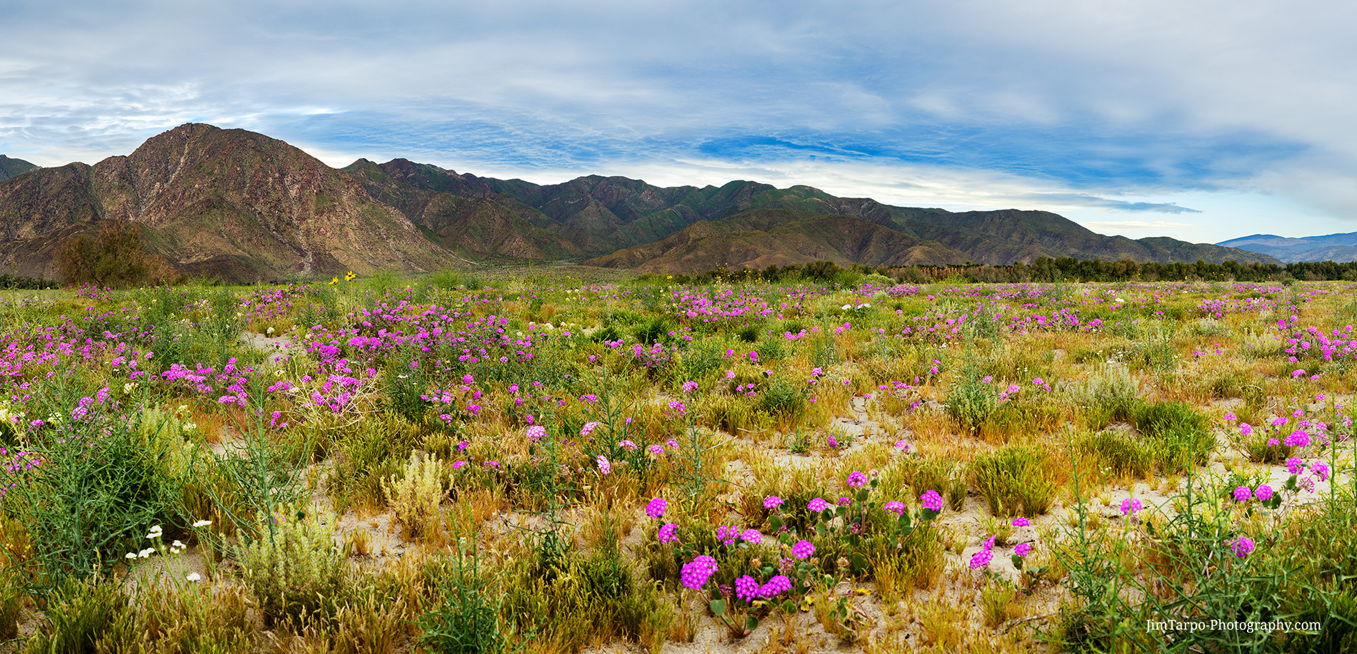 landscape-flowers-desert-borrego-bloom-superbloom
